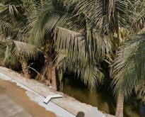แปลงที่1 ขายที่ดิน 35 ไร่สวนมะพร้าวสูง 8 ปี