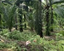 ขายสวนปาล์ม  อ.ปะทิว จ.ชุมพร 44 ไร่ 300 ตรว.