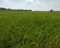 ที่่ดินทำการเกษตร อ.วิเชียรบุรี
